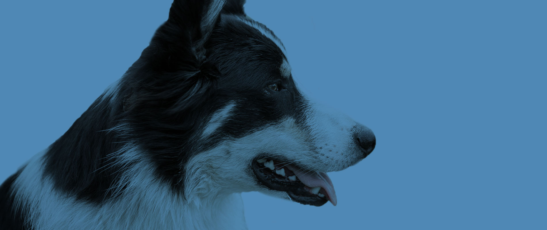 Profile Picture of a Border Collie Dog | Professional Plus Pet Food