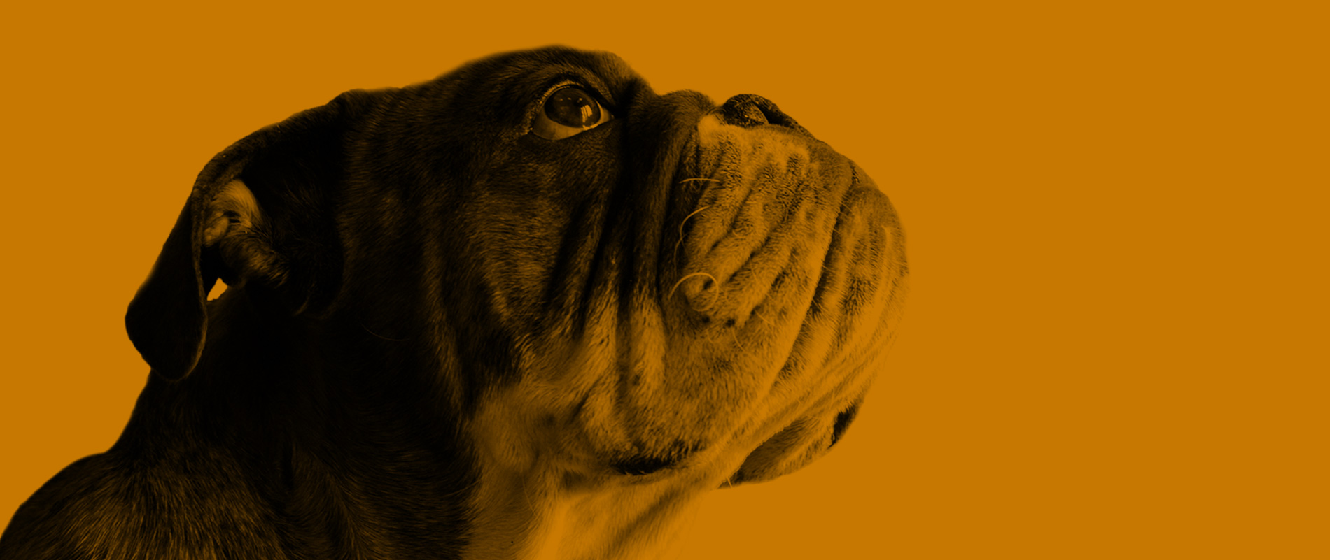 Profile Picture of a Bulldog | Professional Plus Pet Food